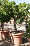 Vitis vinifera DECO