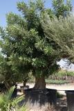 Ceratonia siliqua - Algarrobo Ejemplar